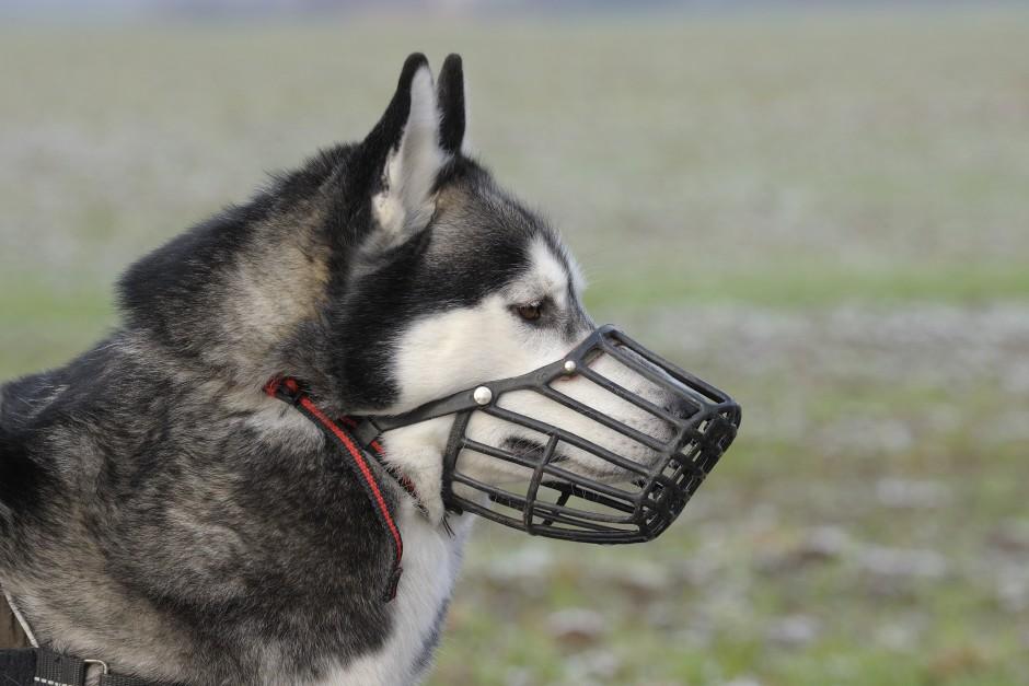 Por qu y cuando mi perro debe llevar un bozal - Cuando se puede banar a un perro ...