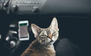 Como viajar en coche con gatos