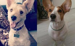 Historias de adopción Drunk y Dumbo perros adoptados